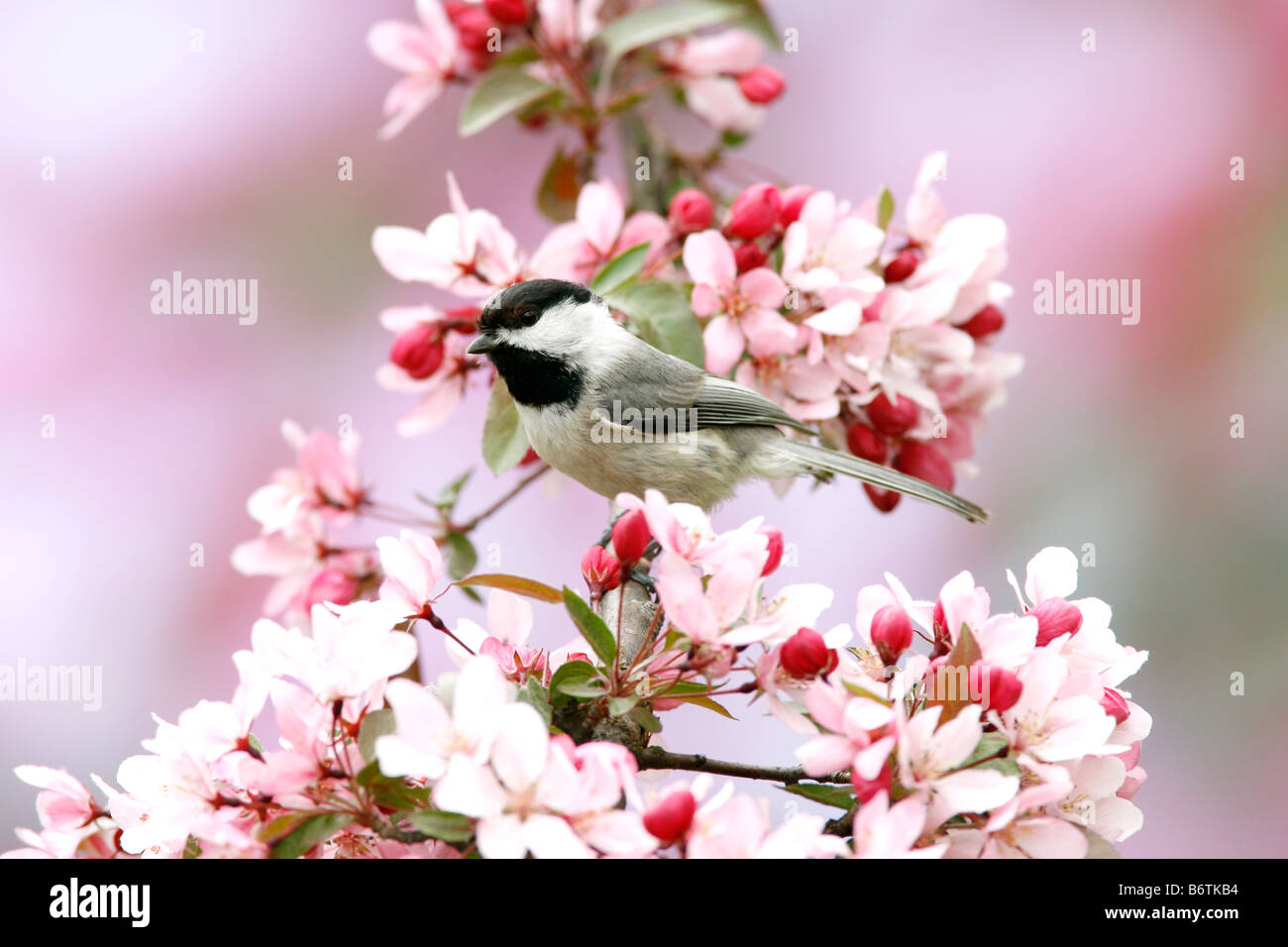 Carolina Chickadee perched in Crabapple Tree Blossoms - Stock Image