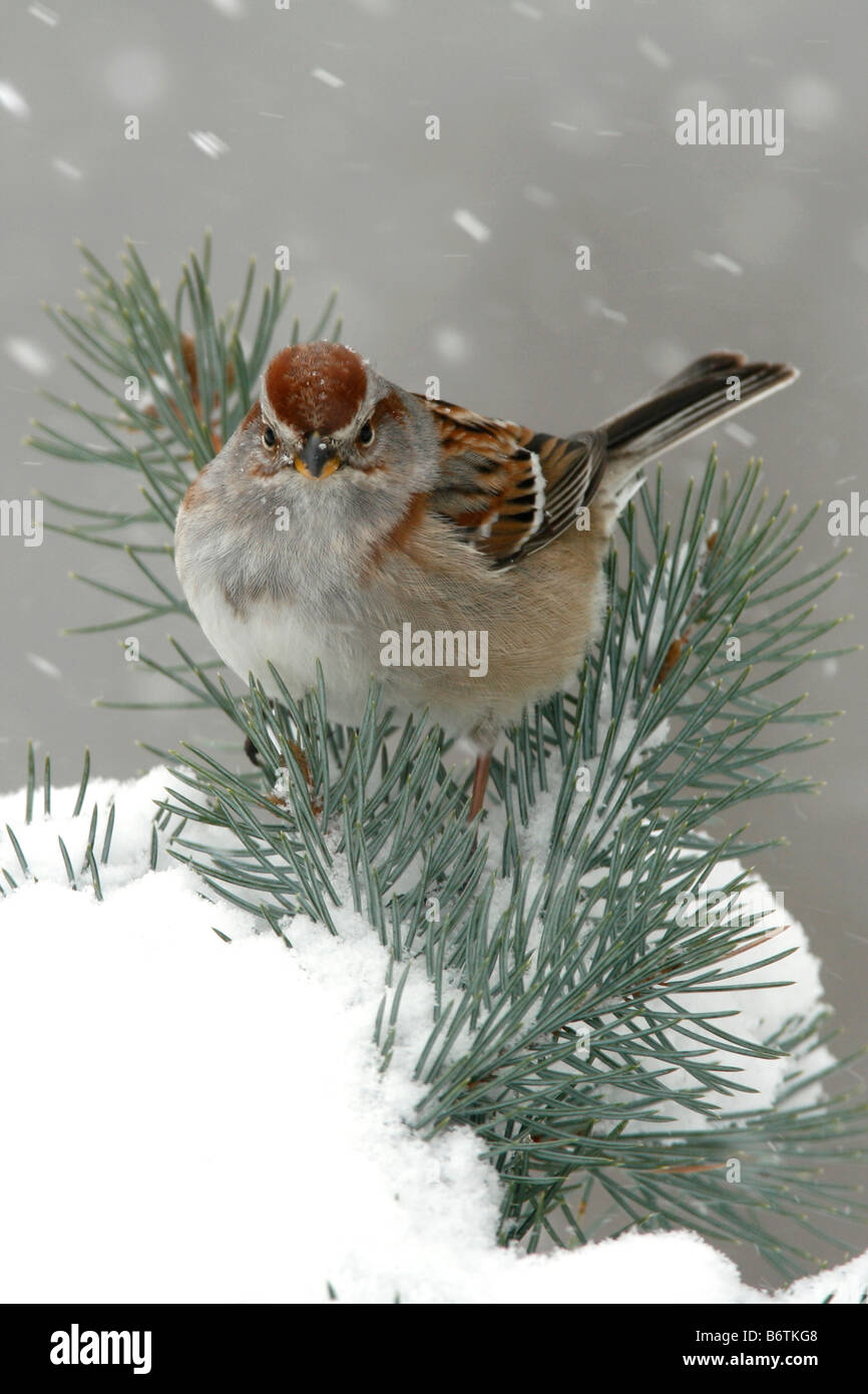 American Tree Sparrow Perched in Spruce Tree with Snow - Vertical - Stock Image