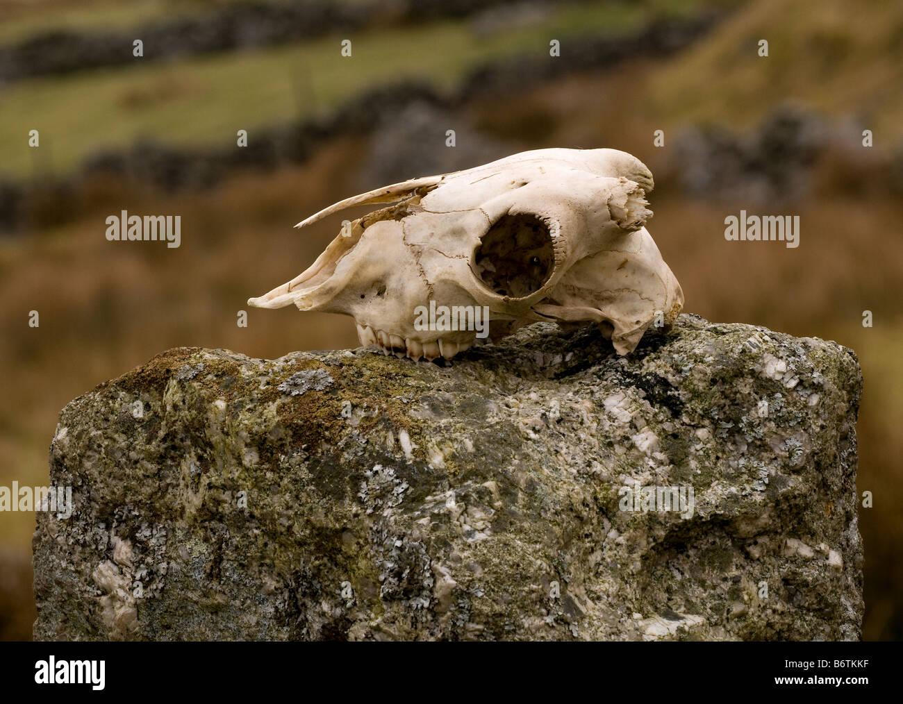 A skull on gatepost on Dartmoor - Stock Image