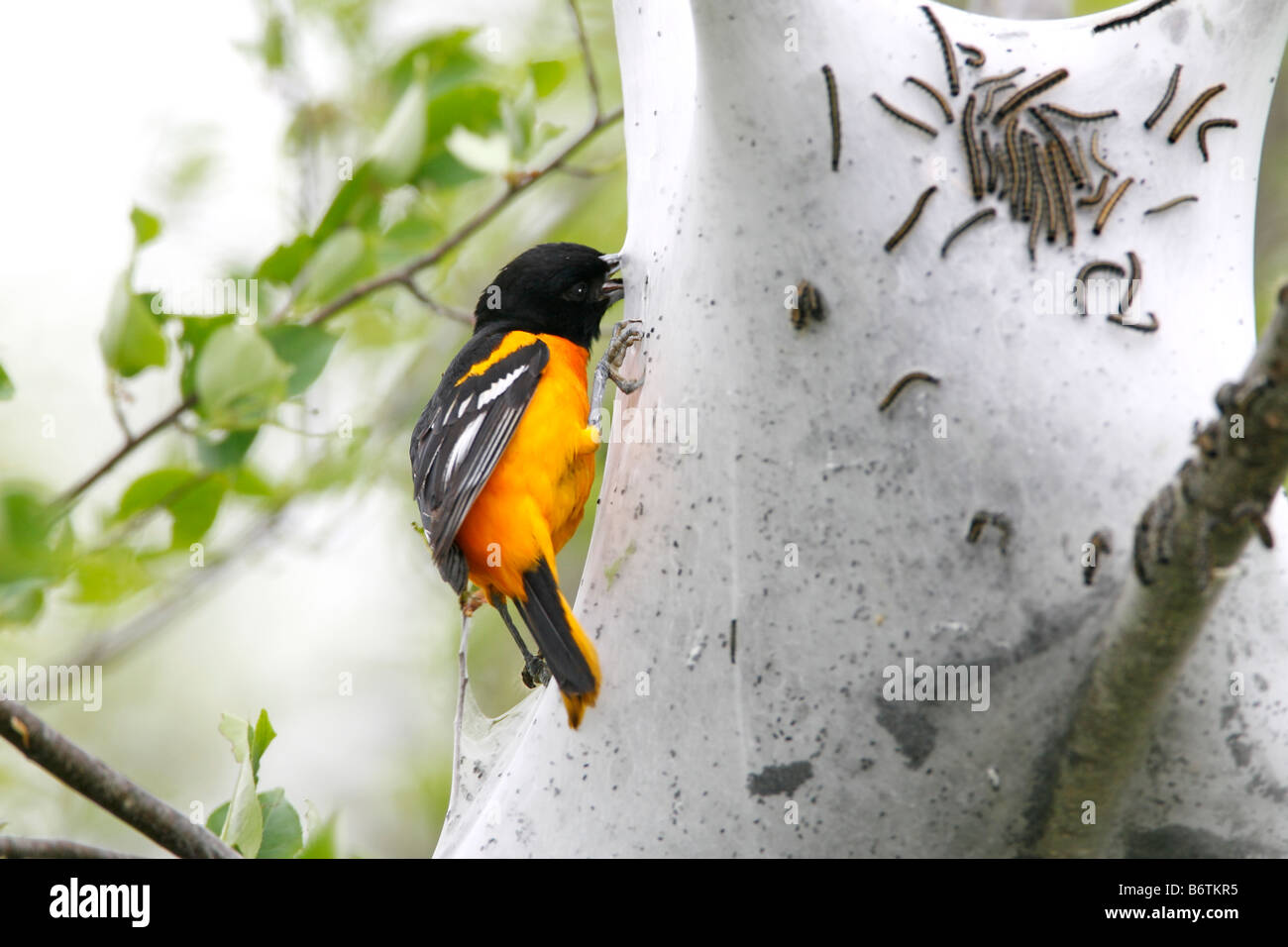 Baltimore Oriole Eating Tent Caterpillars - Stock Image