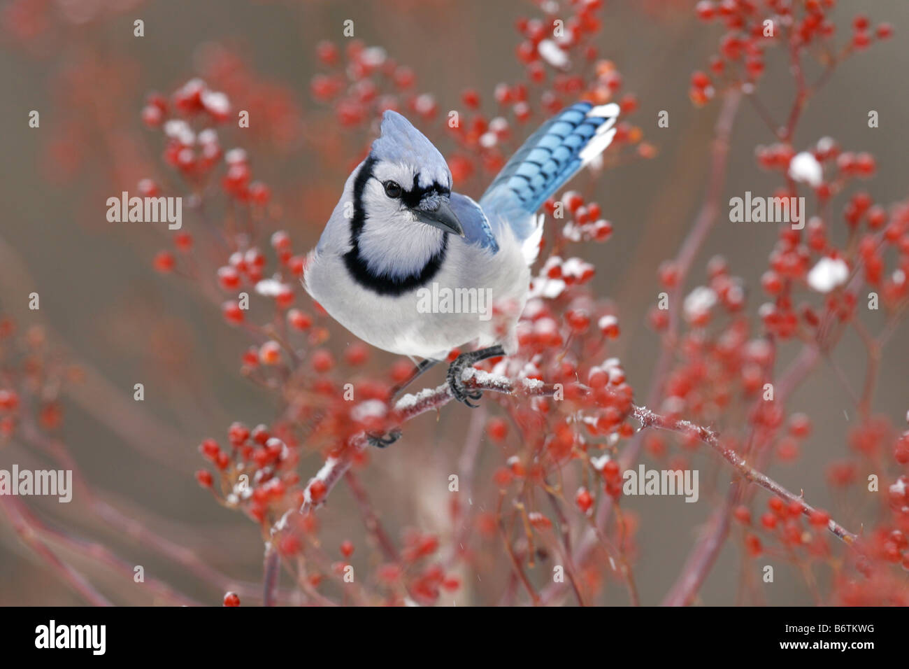 Blue Jay Perched in Multiflora Rose Berries - Stock Image