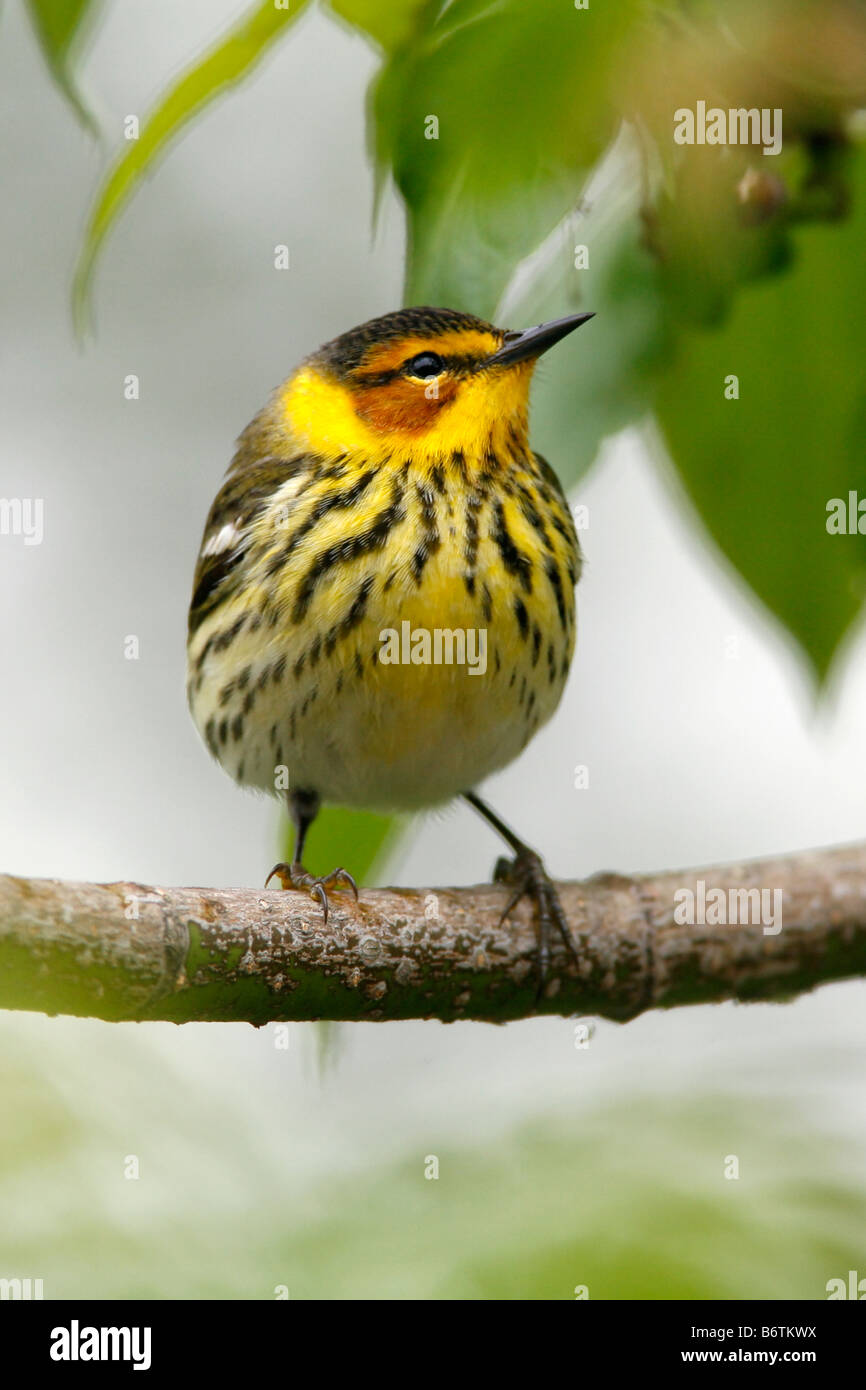 Cape May Warbler - Vertical - Stock Image