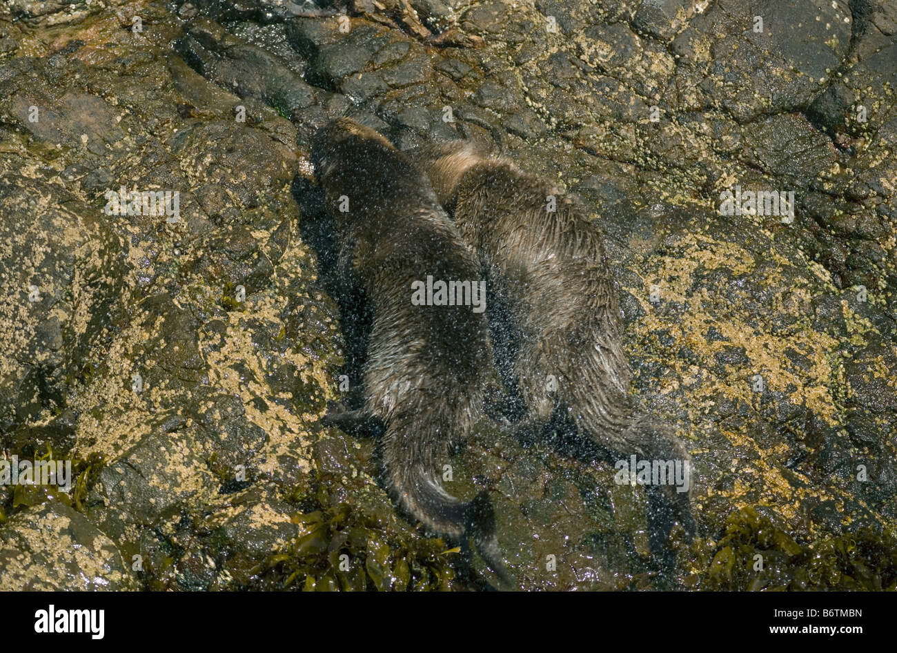 Marine Otters (Lontra felina) ENDANGERED, Shaking off water, Chiloe Island, CHILE - Stock Image