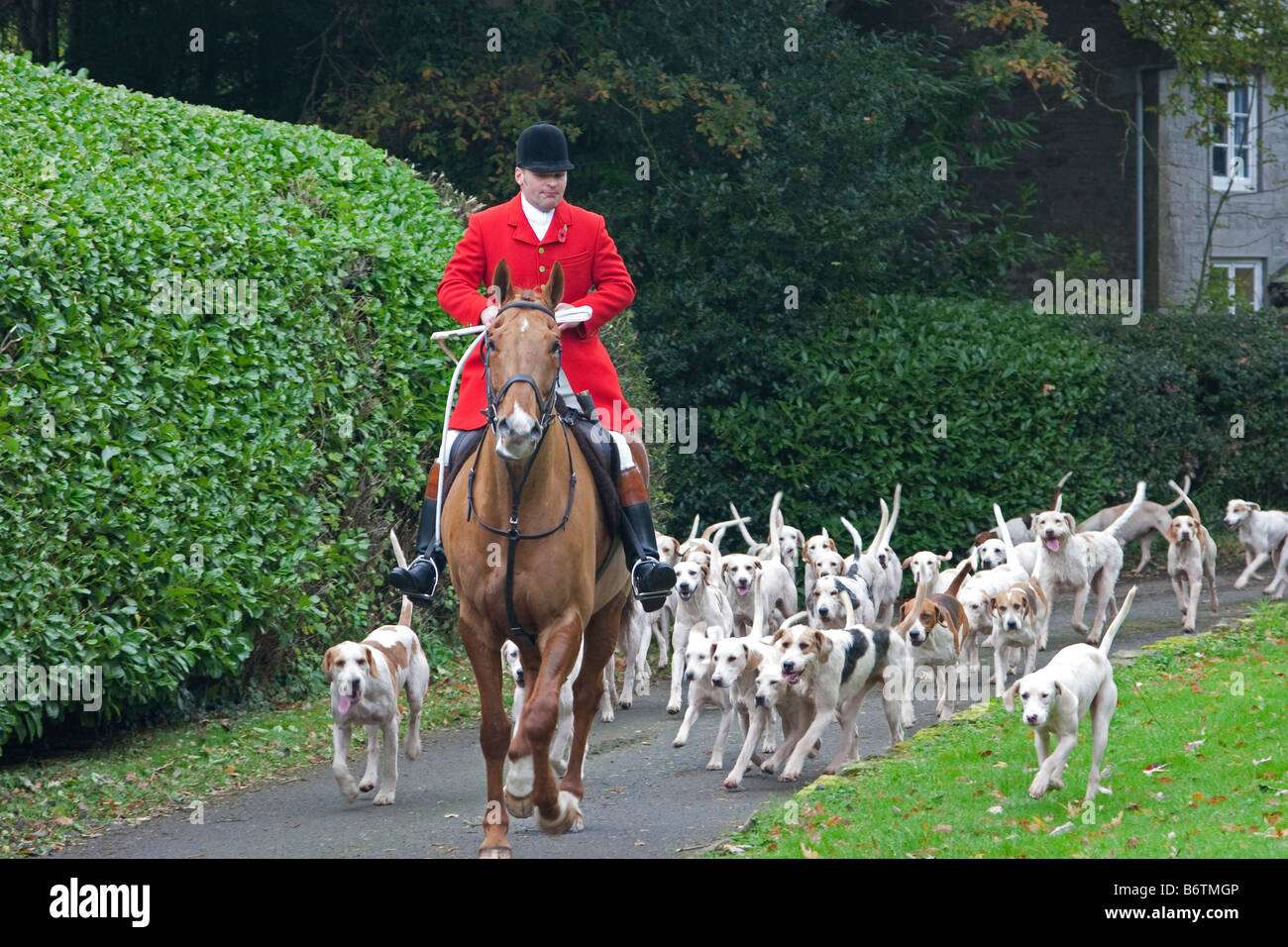 Huntsman and fox hounds - Stock Image