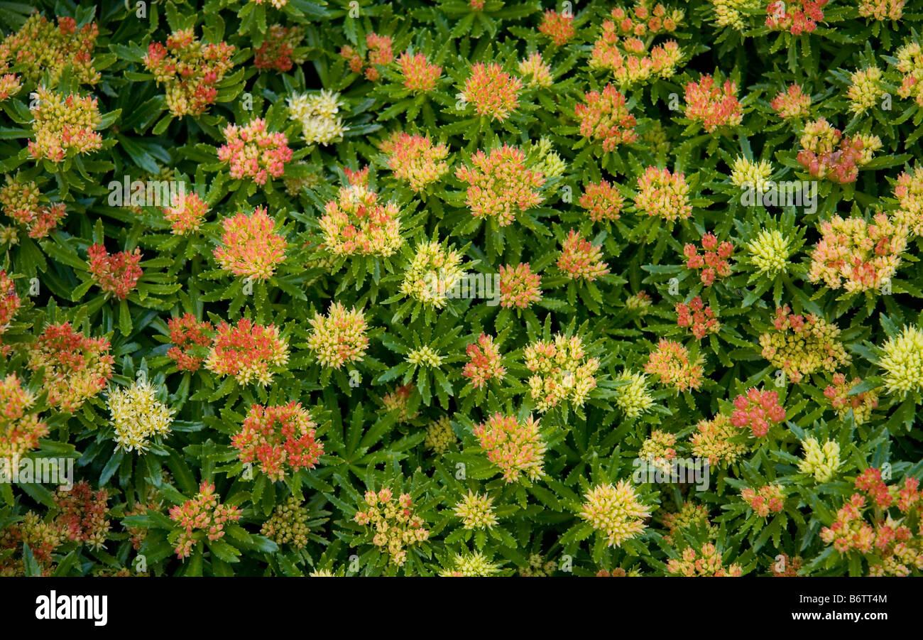 Alpine plant with yellow star shaped flowers stock photo 21444100 alpine plant with yellow star shaped flowers mightylinksfo