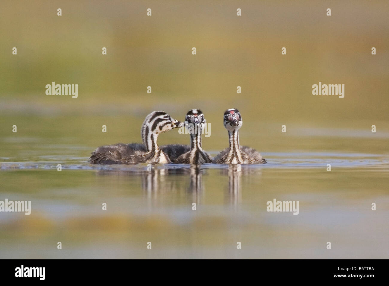 3 young grebes side by side on the pond - Stock Image