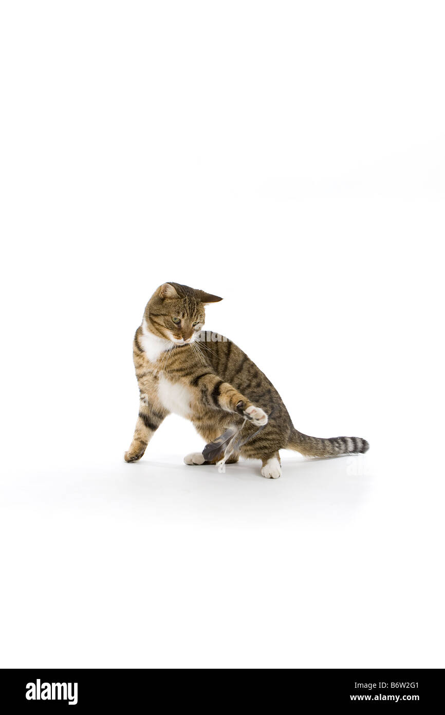 Tabby tom cat playing with feathers - Stock Image