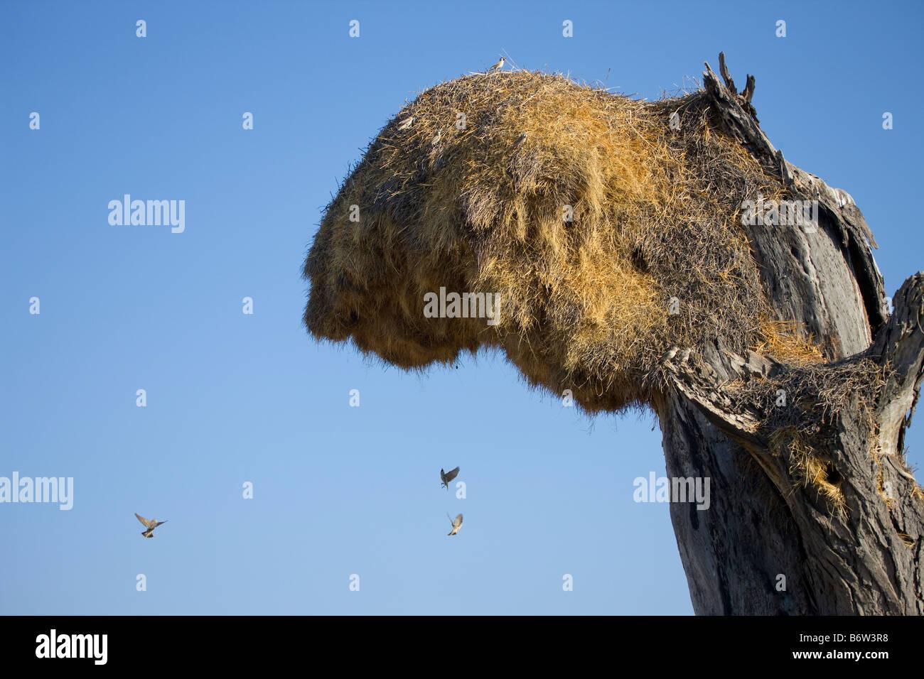 Sociable Weavers Flying to their Nest, Etosha National Park, Namibia - Stock Image