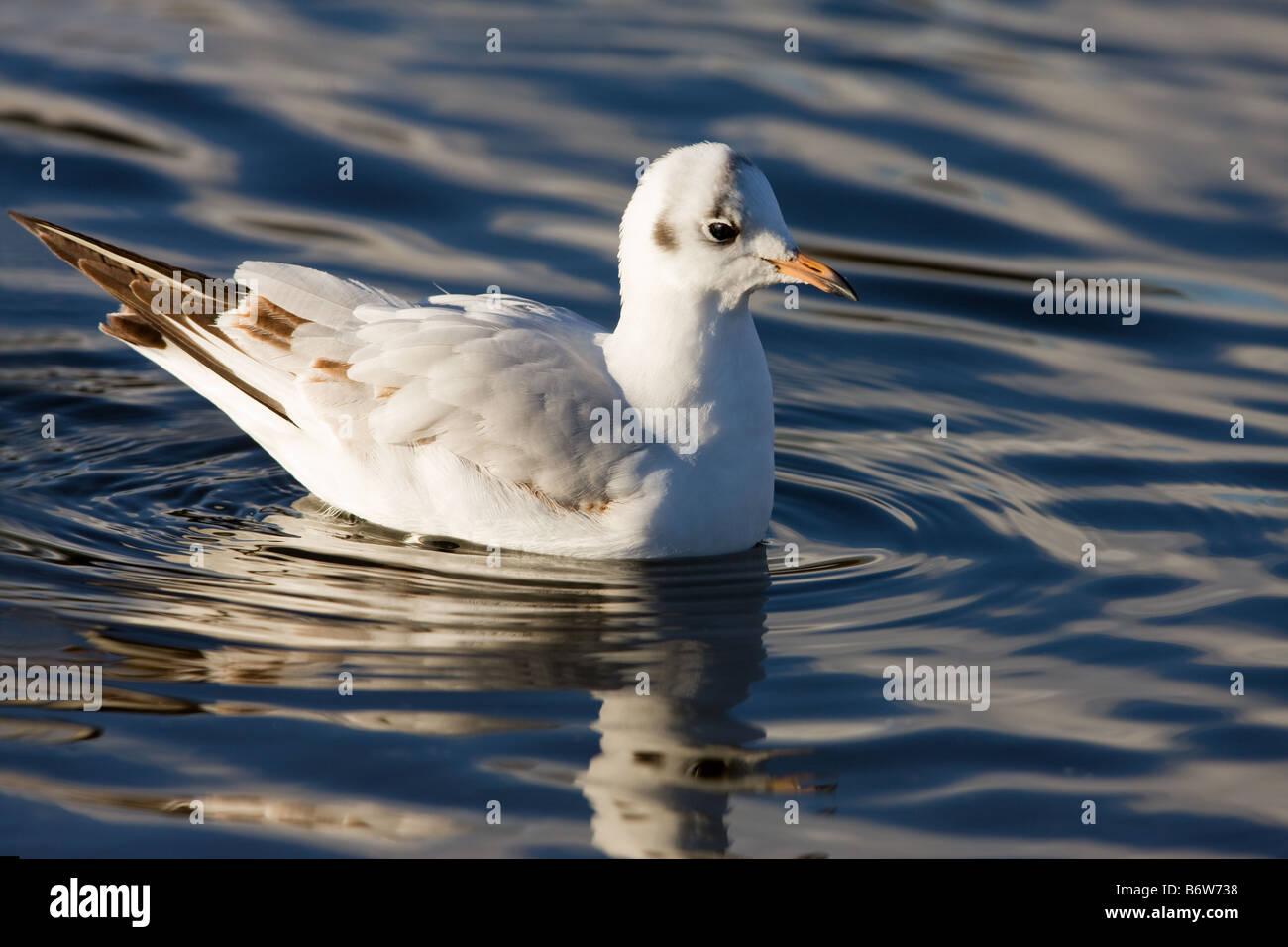 Black-headed Gull Larus riddibundus 1st winter immature swimming - Stock Image