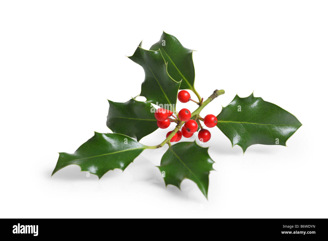 Holly branch with berries cut out isolated on white background - Stock Image