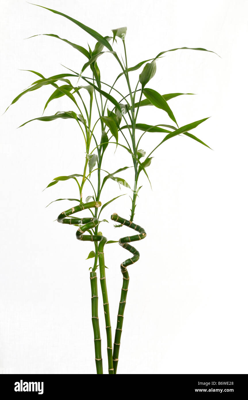 Three stalks of lucky bamboo Dracaena Sanderiana signifying happiness on white background - Stock Image