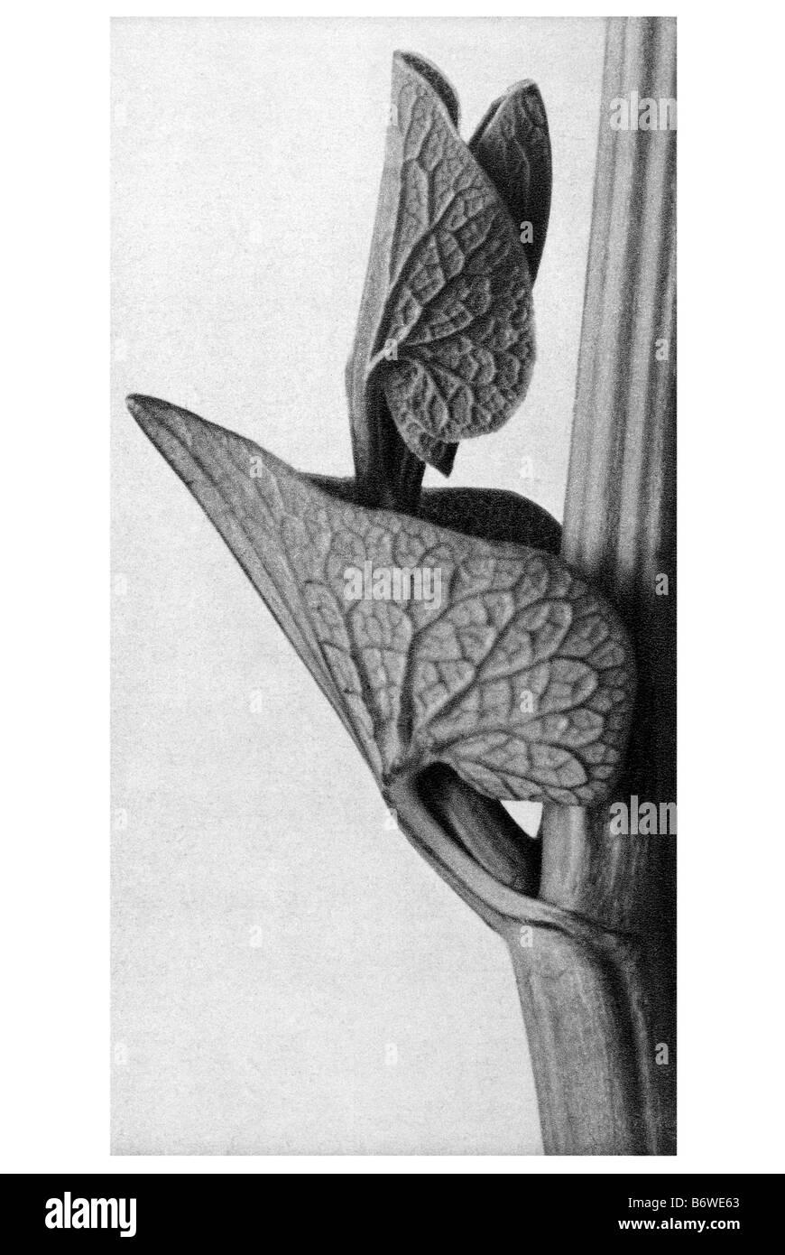 Birthwort Stock Photo