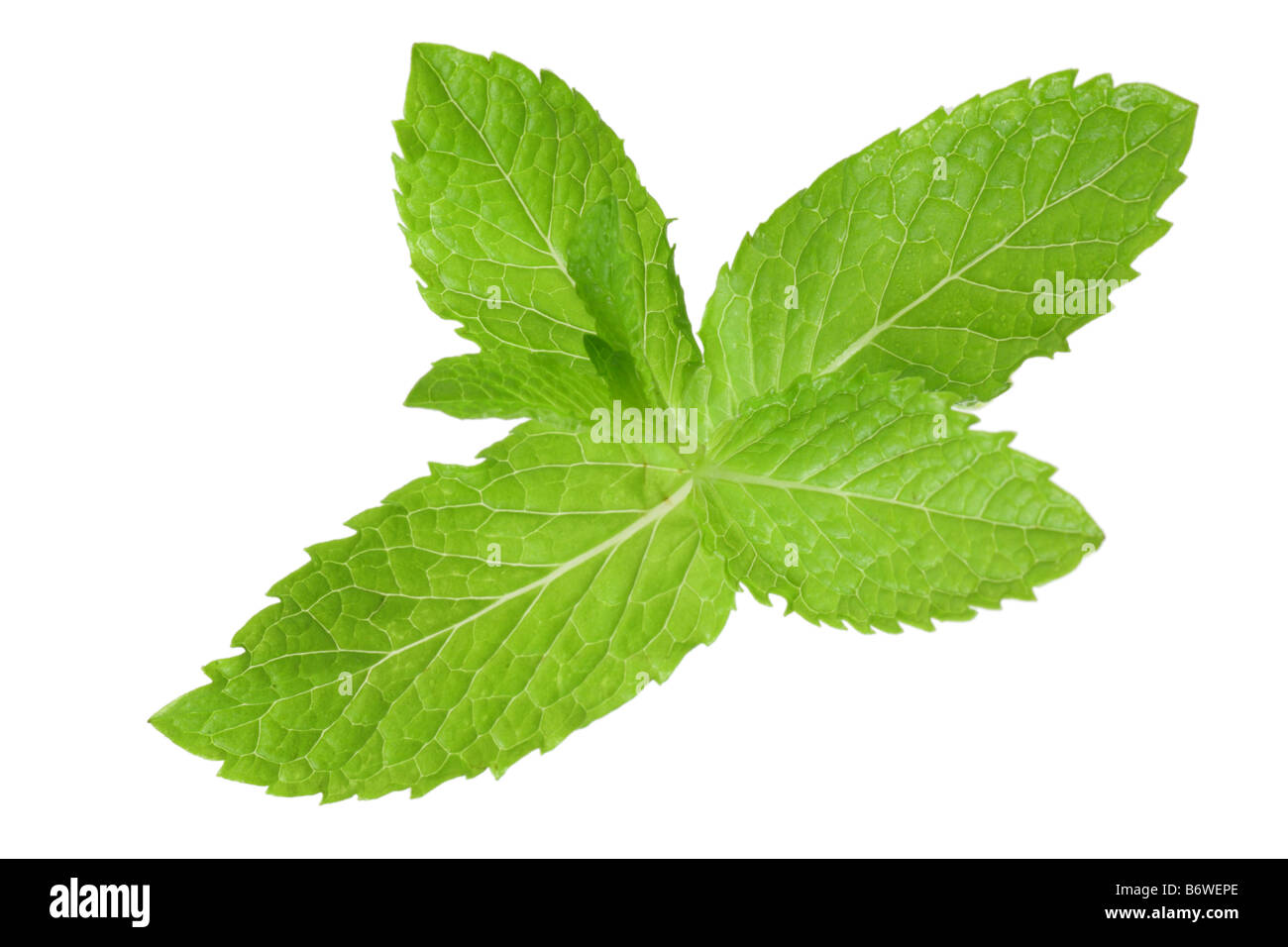 Sprig of mint cut out isolated on white background - Stock Image