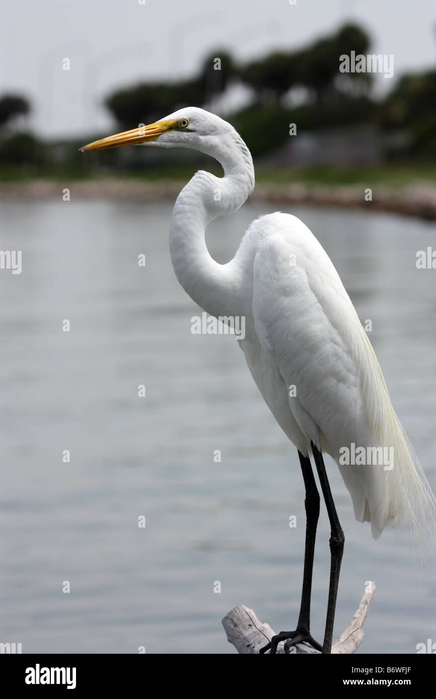 White Egret standing on a branch hanging over the water - Stock Image