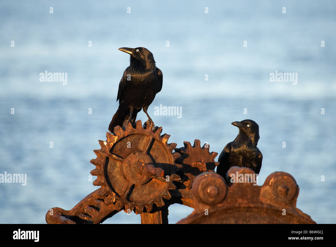 Australian Ravens Corvus coronoides and Rusty Cogs Newcastle Harbour Newcastle New South Wales Australia - Stock Image