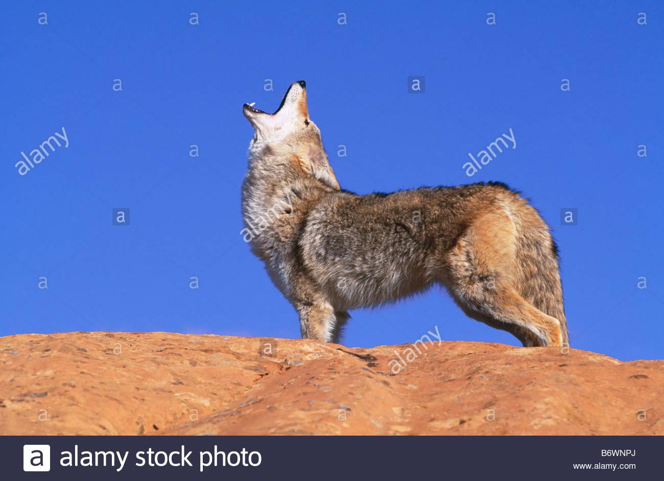 Howling coyote on rock Canis latrans Near Zion National Park High desert Colorado Plateau Southeastern Utah - Stock Image