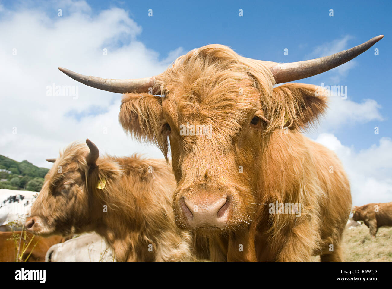 Highland cows - Stock Image