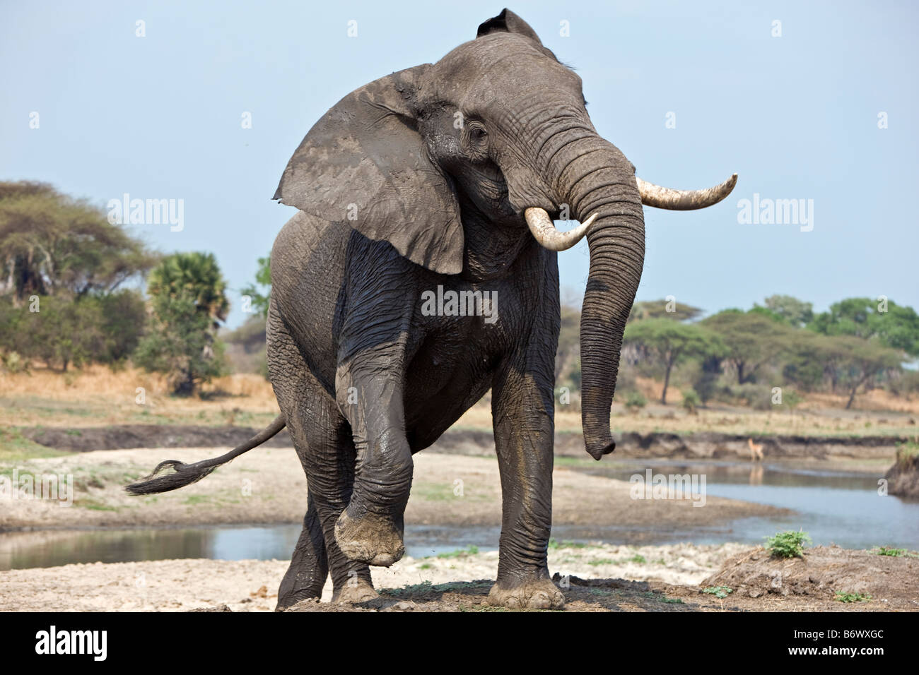 Tanzania, Katavi National Park. An elephant displays aggression. - Stock Image