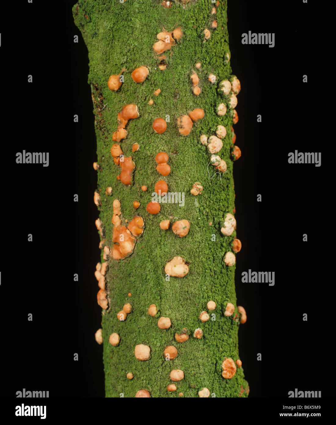 Coral spot Nectria cinnabarina fruiting bodies on dead elm wood - Stock Image