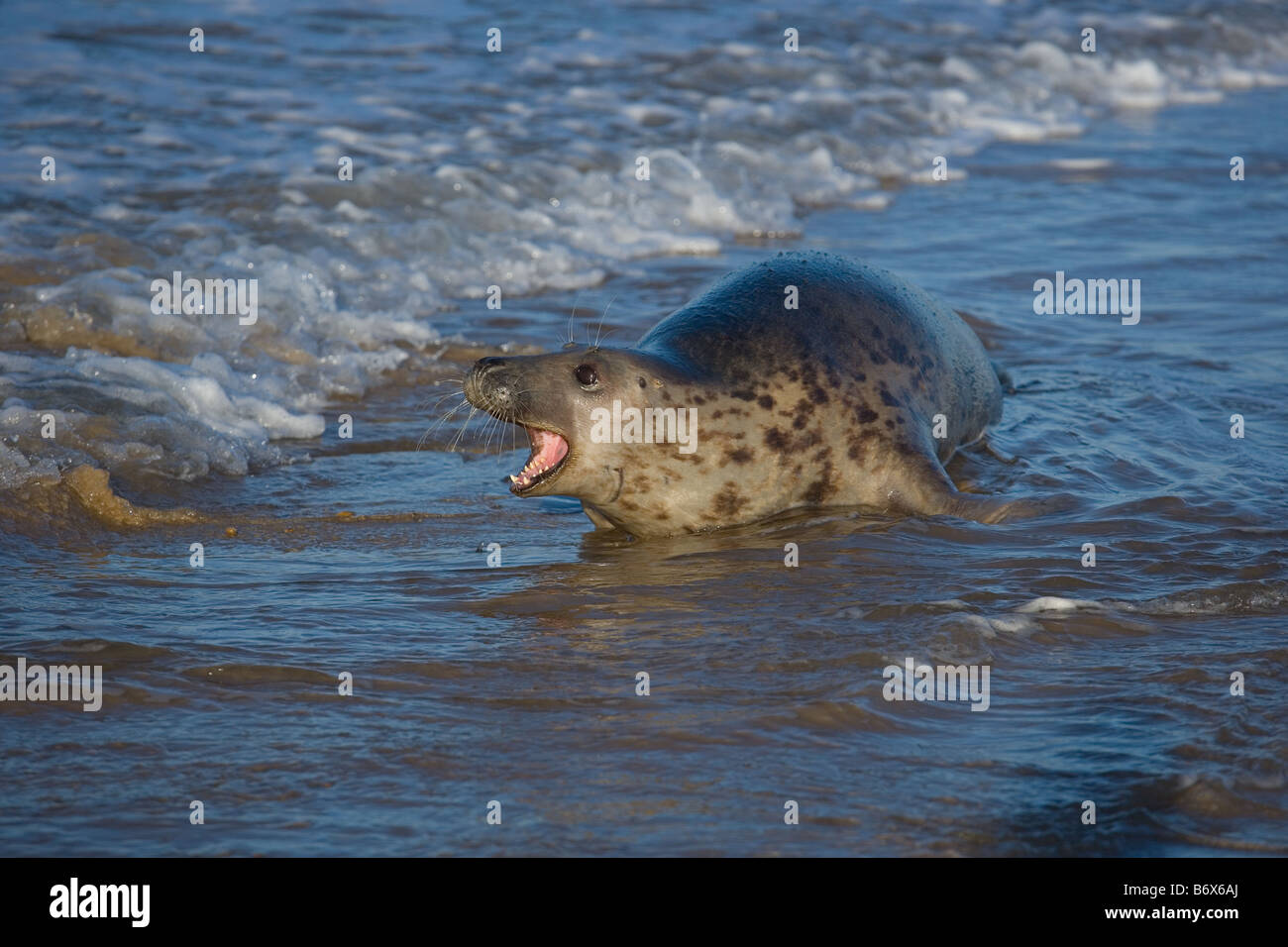 Grey Seal Halichoerus grypus Female in breaking waves - Stock Image