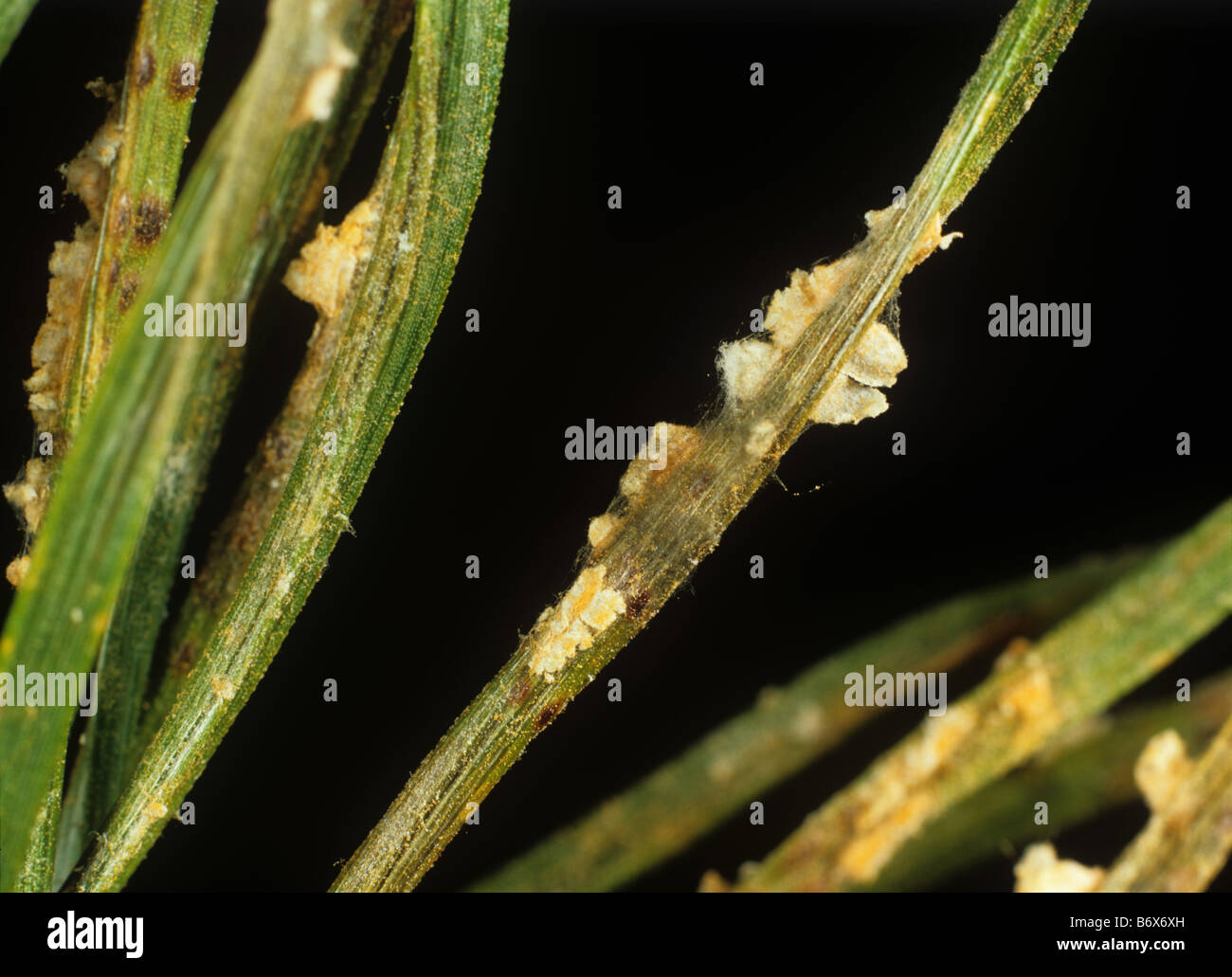 Needle rust Coleosporium tussilaginis pustules on pine needles - Stock Image