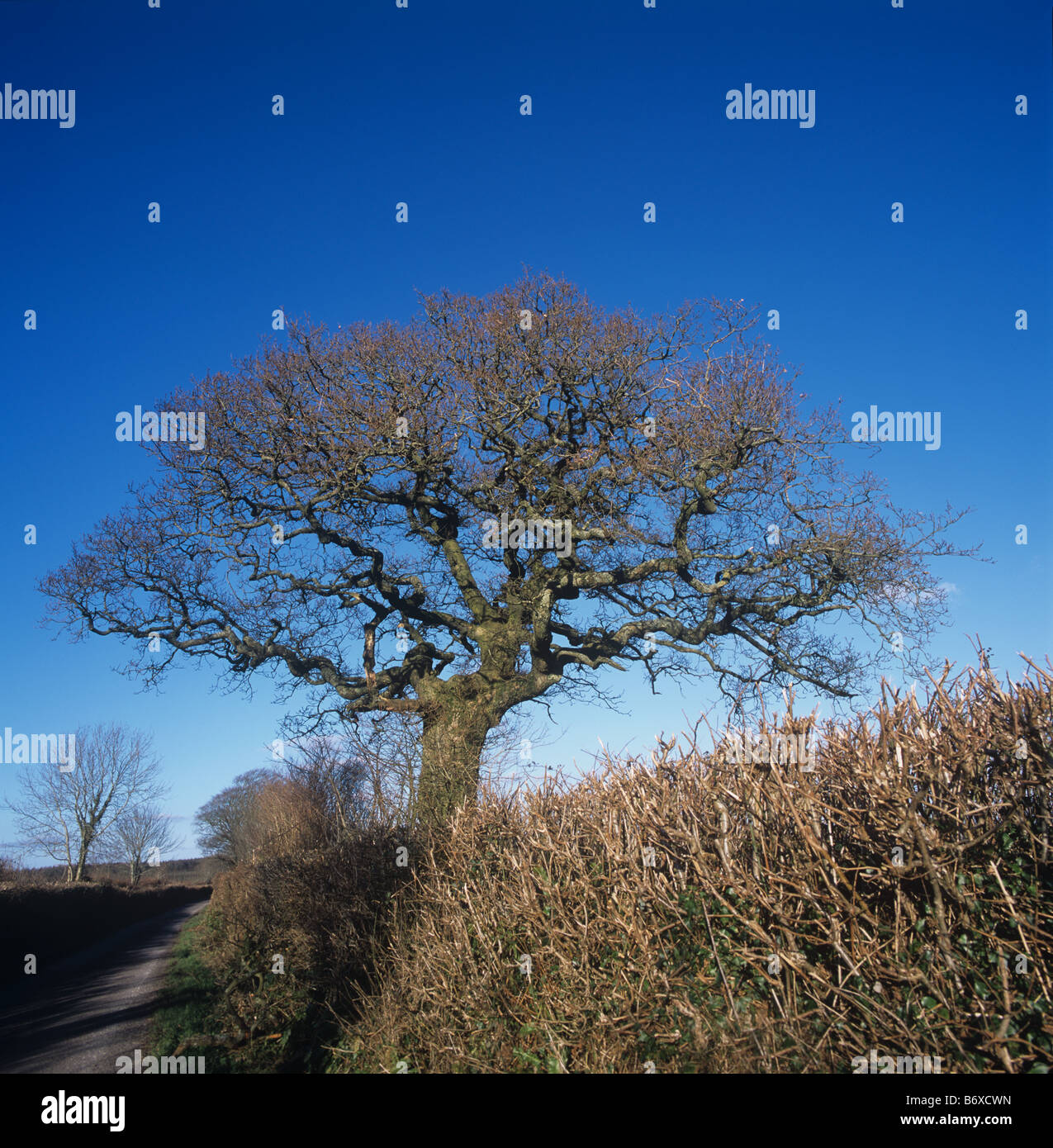 Slightly twisted mature leafless oak tree in Devon hedgerow against a blue winter sky - Stock Image
