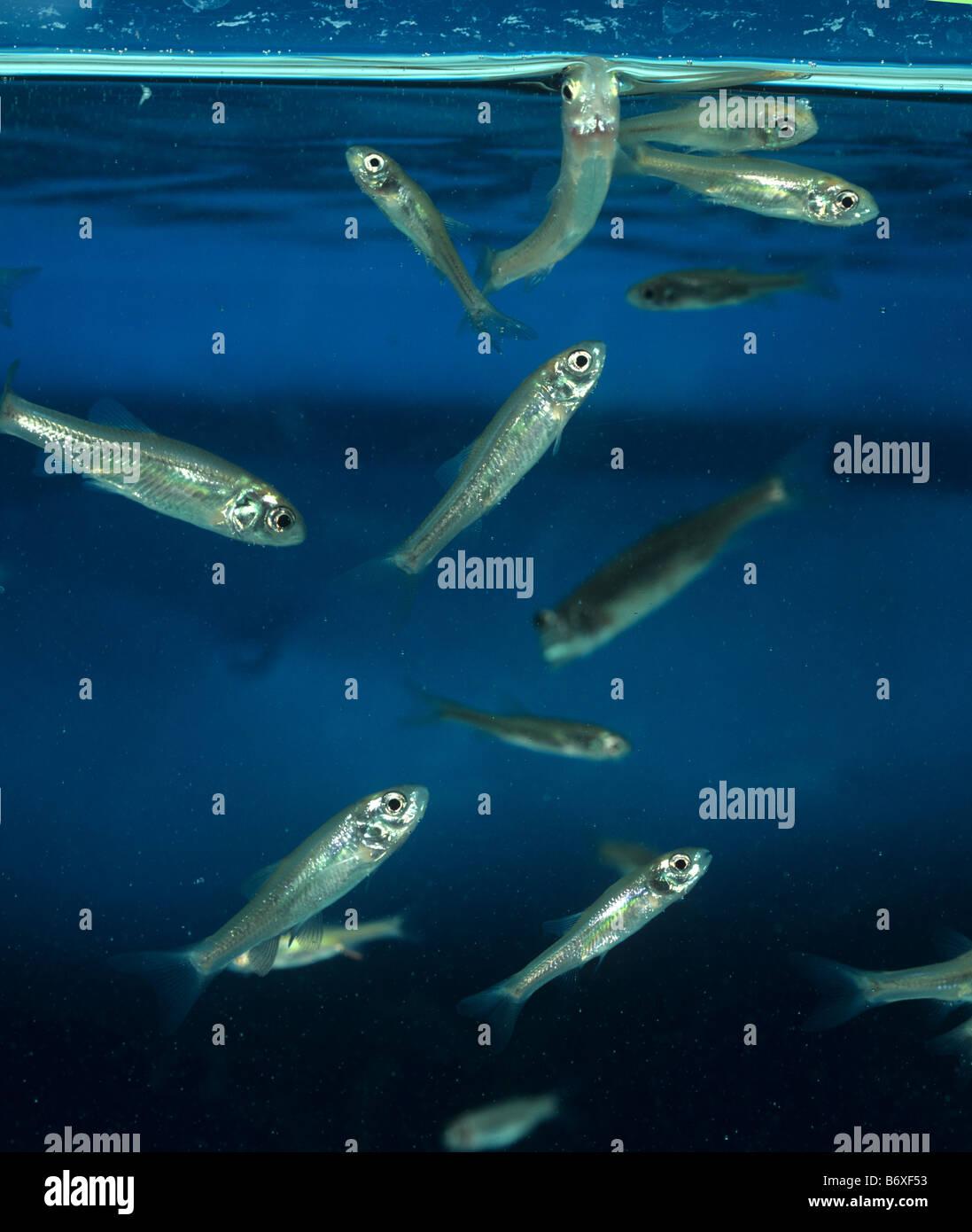 Minnows Stock Photos & Minnows Stock Images - Alamy