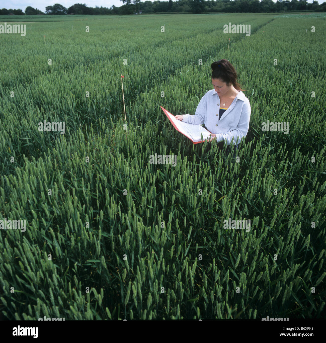 Research technician in a wheat plots in ear with a folder and examining crop plants - Stock Image