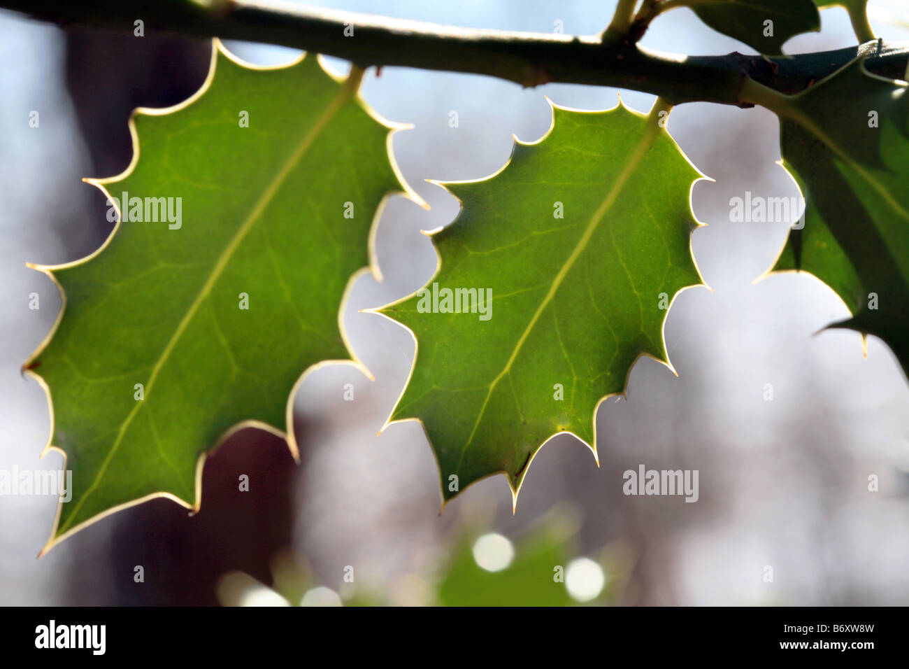 holly tree leaves - Stock Image
