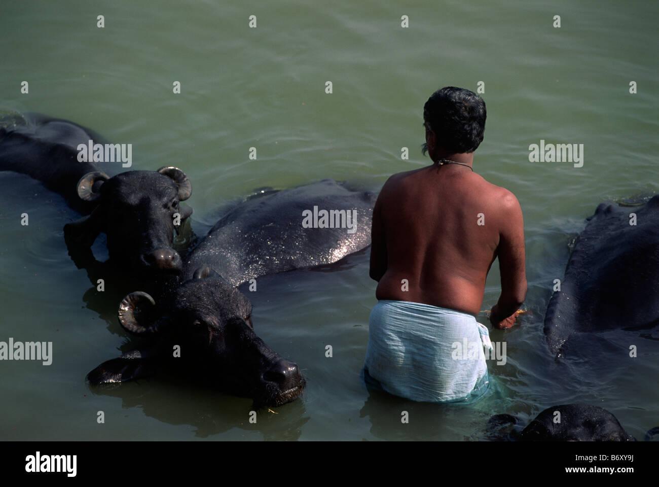 india, uttar pradesh, varanasi, ganges river, man and water buffalos - Stock Image