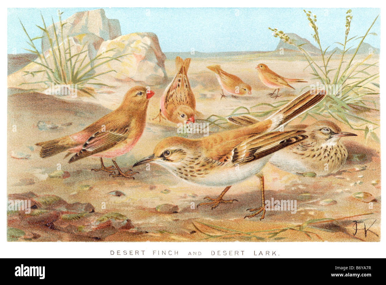 desert finch lark Finches are passerine birds, often seed-eating, found mainly in the northern hemisphere and Africa. - Stock Image