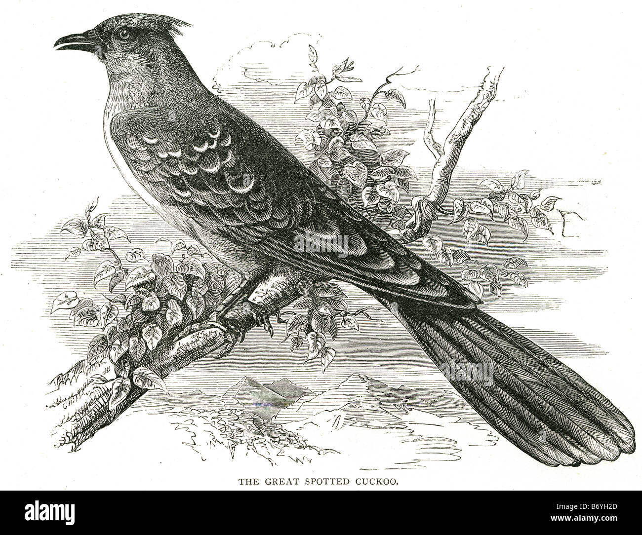 the great spotted cuckoo Clamator glandarius Cuculiformes roadrunners anis coucals Hoatzin - Stock Image