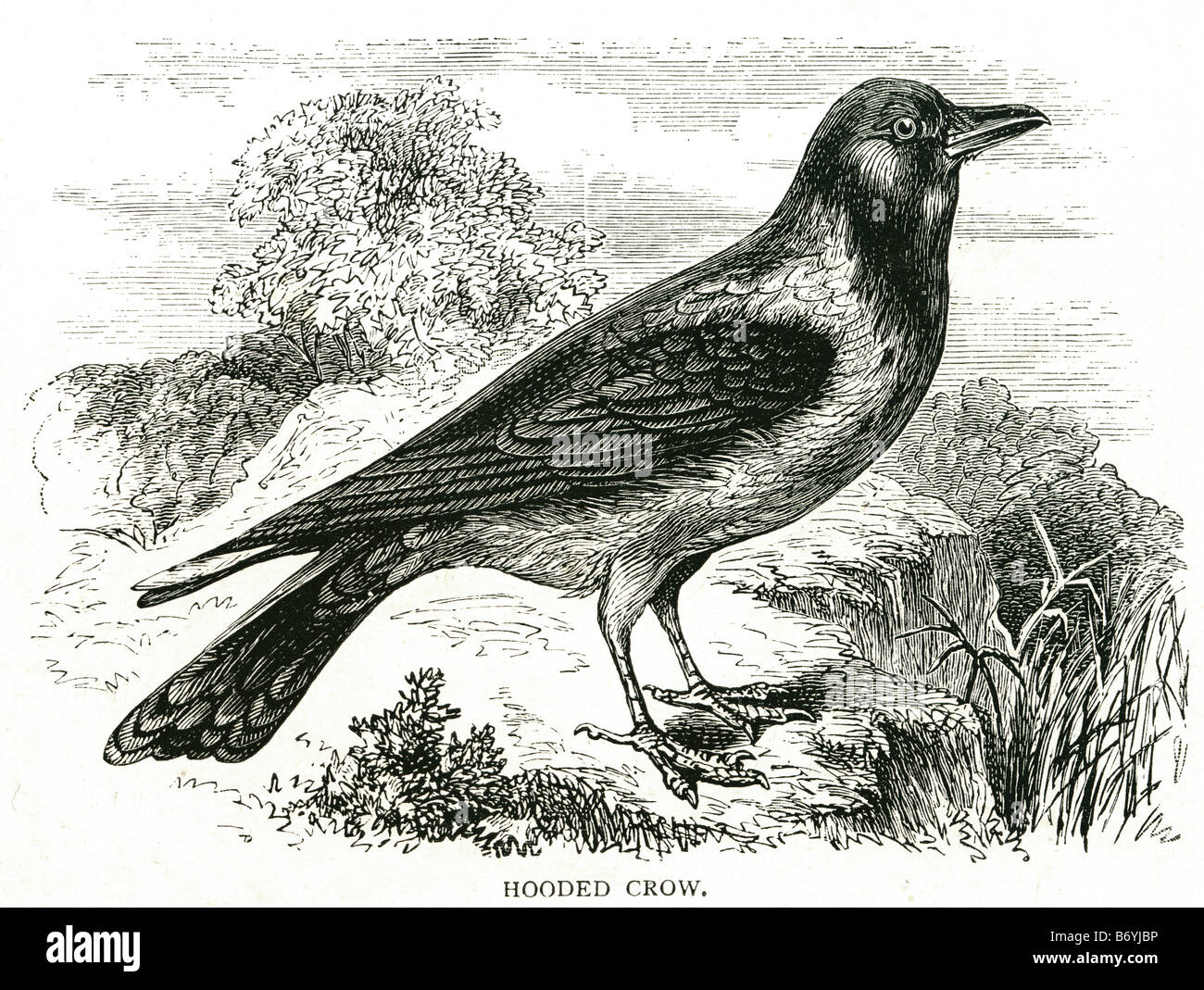 hooded crow Corvus cornix Hoodiecrow Eurasian bird scotch Crow Danish Crow Grey Crow - Stock Image