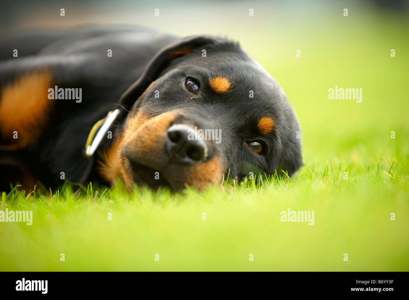 dog on grass - Stock Image