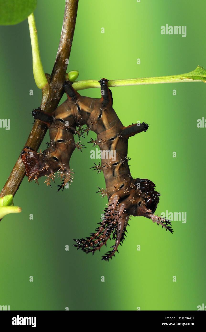 Regal Silkmoth Citheronia regalis 4th instar larva captive bred - Stock Image