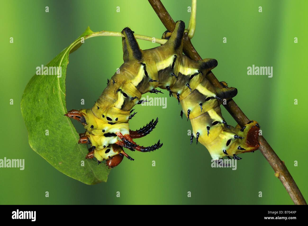 Regal Silkmoth Citheronia regalis final instar larva feeding on Lilac leaf captive bred - Stock Image