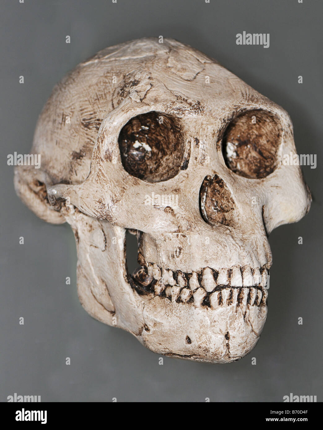 cast skull of the skull of the extinct hominid  Australopithecus afarensis - Stock Image
