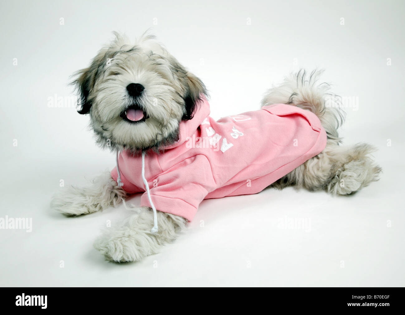Young Puppy Modeling A Hoodie Stock Photo 21524399 Alamy