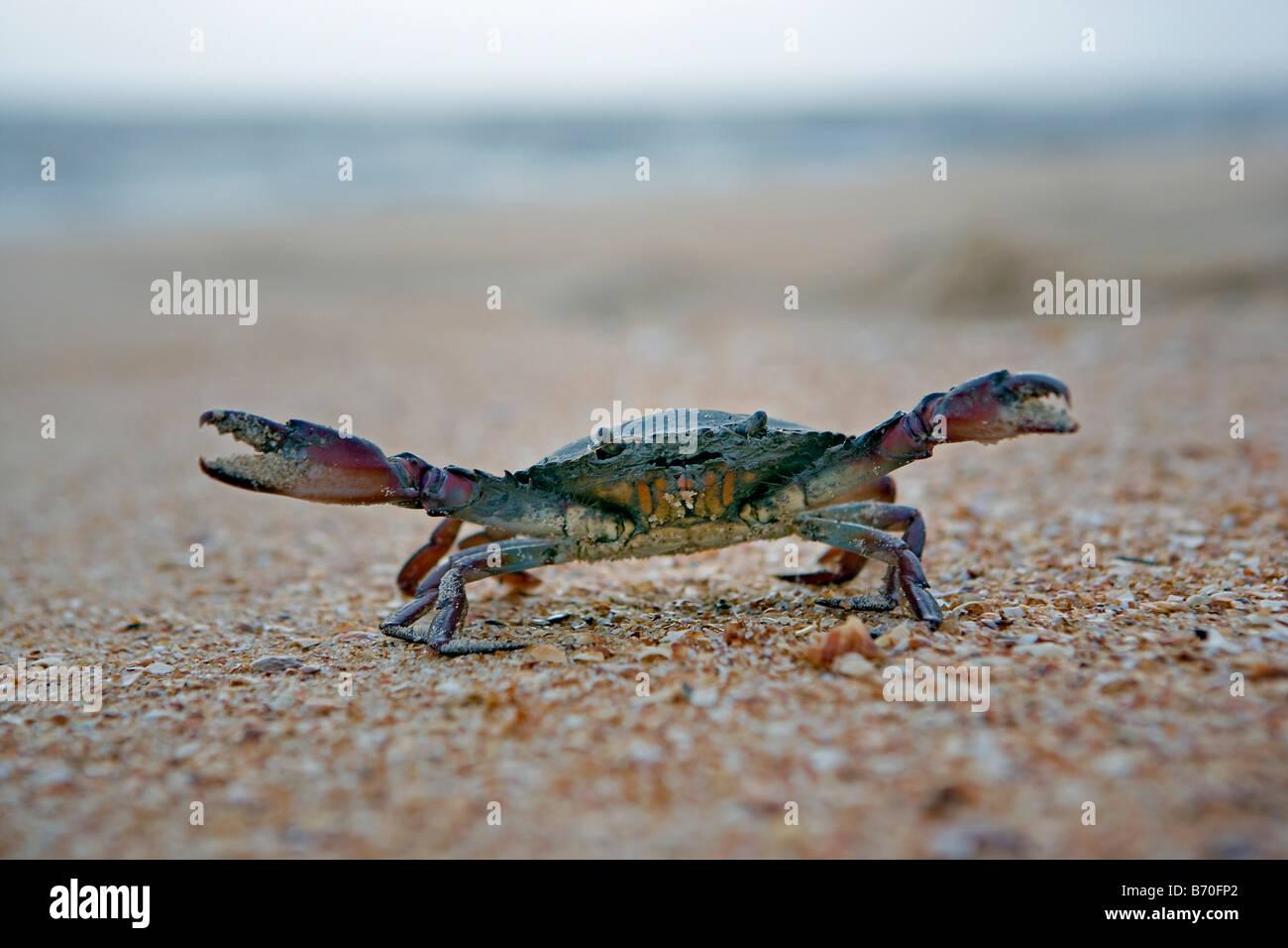 Suriname, Matapica National Park. Crab in defensive position. - Stock Image