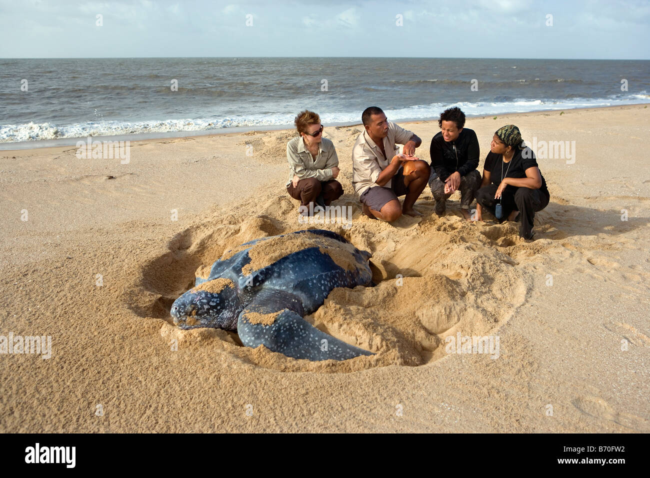 Suriname, Matapica National Park. Leatherback turtle laying eggs. (Dermochelys coriacea). Local guide explains to - Stock Image