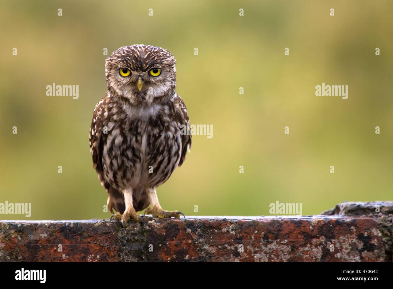 Little Owl,Athene noctua on a wood stick looking backward at Pego da Granja,Loures,Portugal Stock Photo