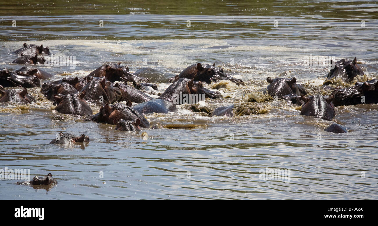 A Frenzy of Hippopotamus in a waterhole the Masai Mara in Kenya - Stock Image
