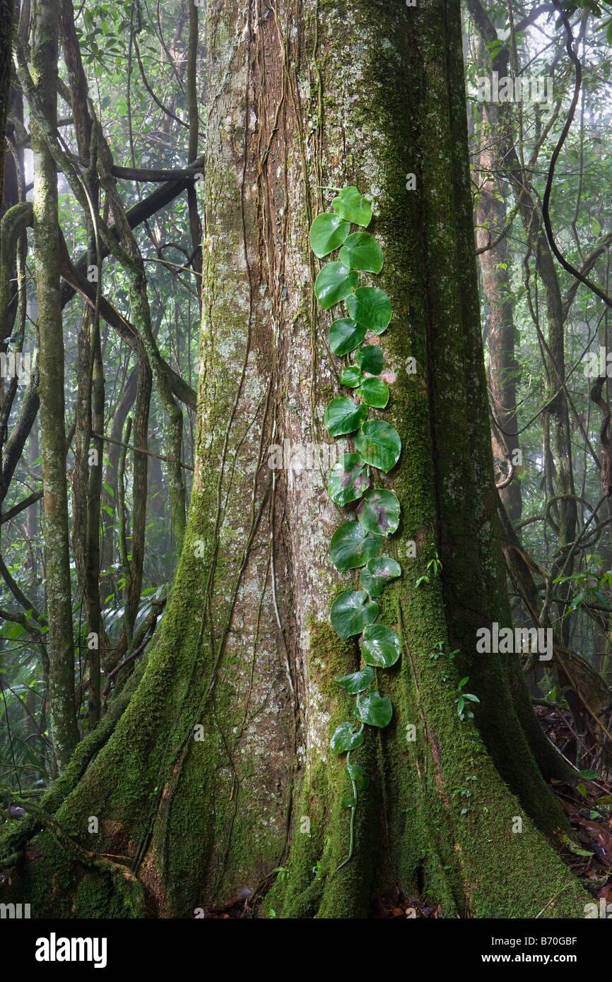 Suriname, Brownsweg, Brownsberg National Park. Leaves on tree. - Stock Image