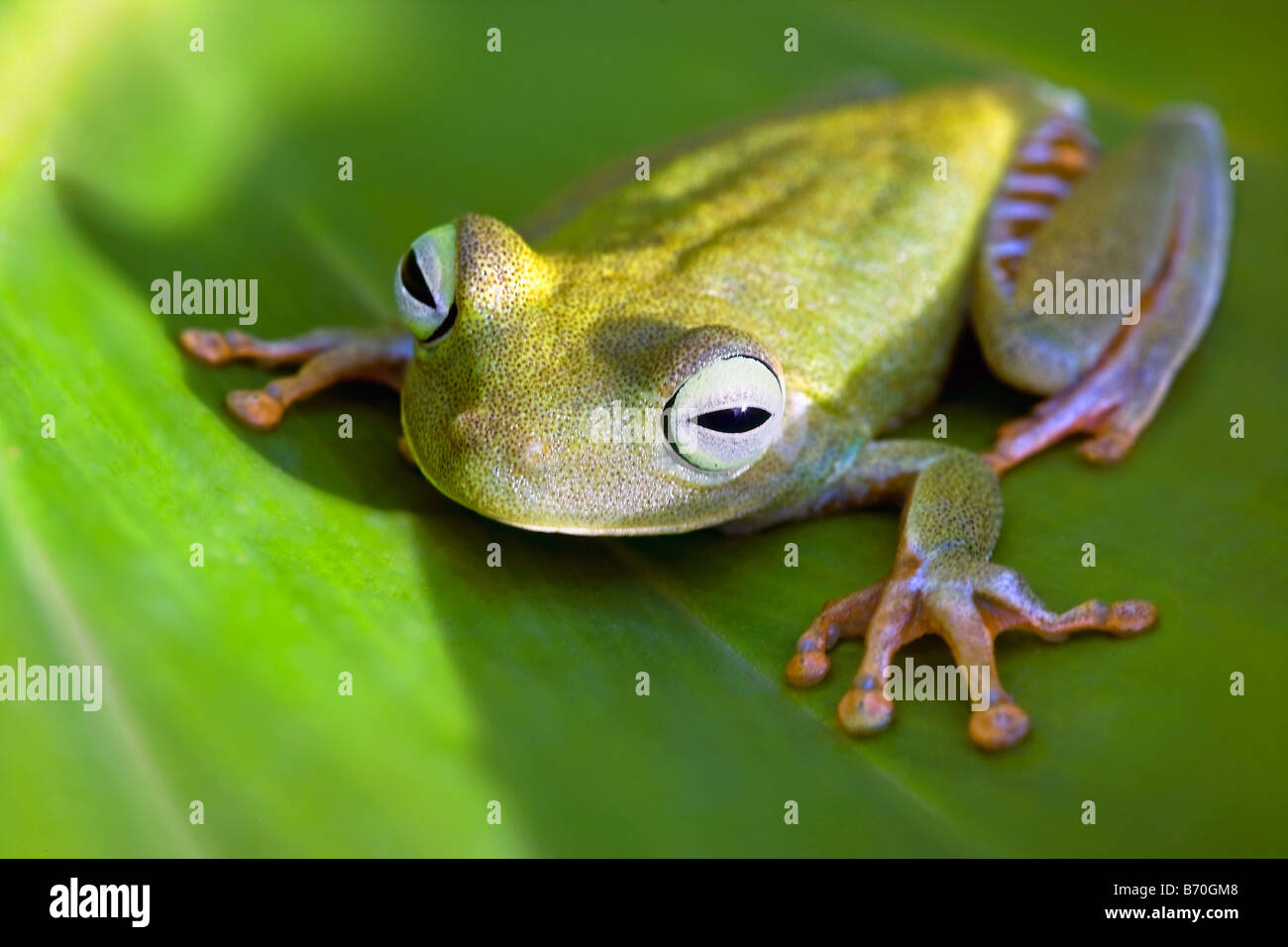 Suriname, Brownsweg, Brownsberg National Park. Orange Legged Tree Frog. Also: Tigerleg Monkey Tree Frog. - Stock Image
