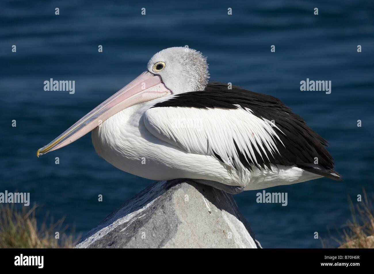 Australian Pelican Pelecanus conspicillatus Blacksmiths Swansea Channel New South Wales Australia - Stock Image