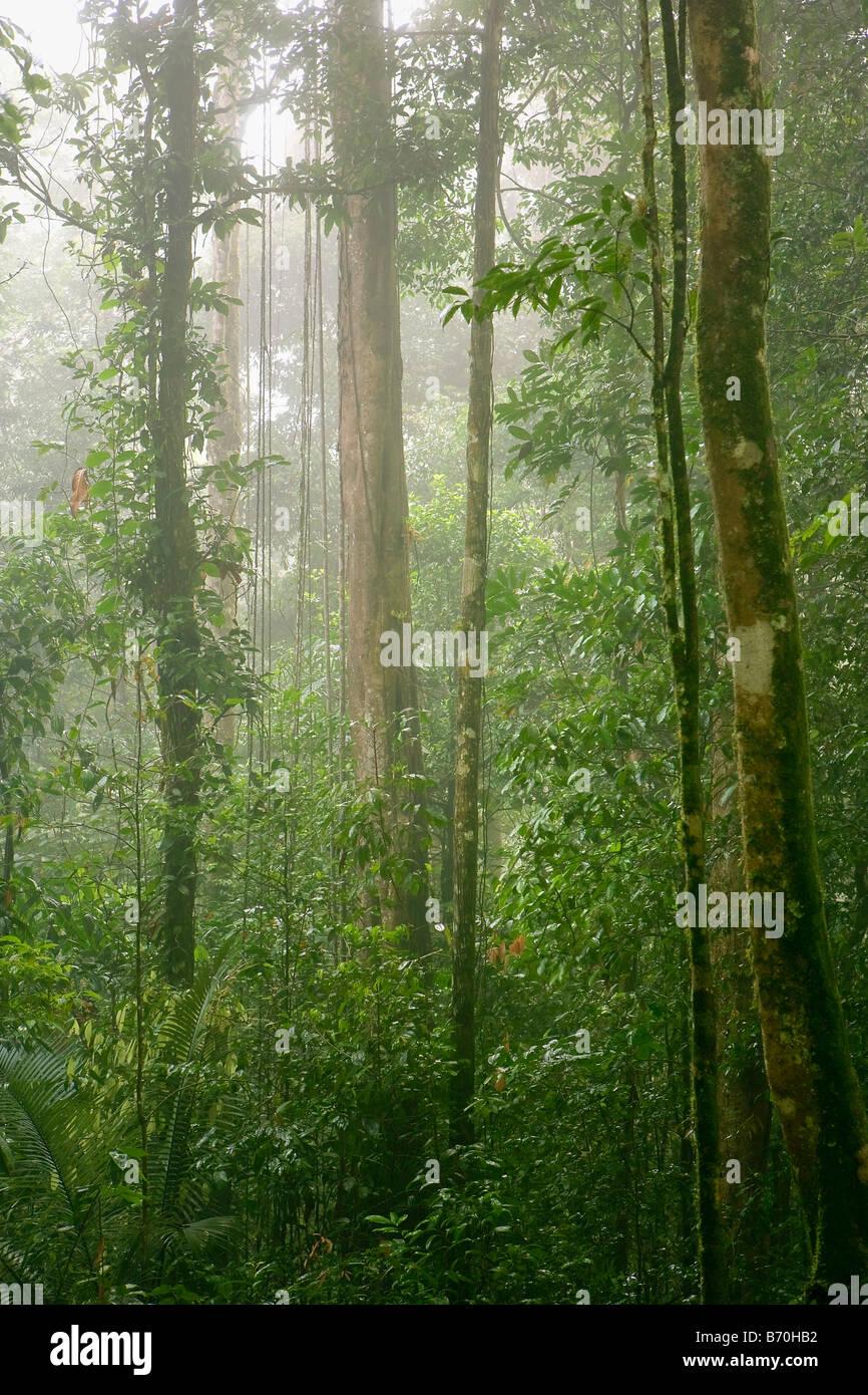 Suriname, Brownsweg, Brownsberg National Park. Trees in mist. - Stock Image