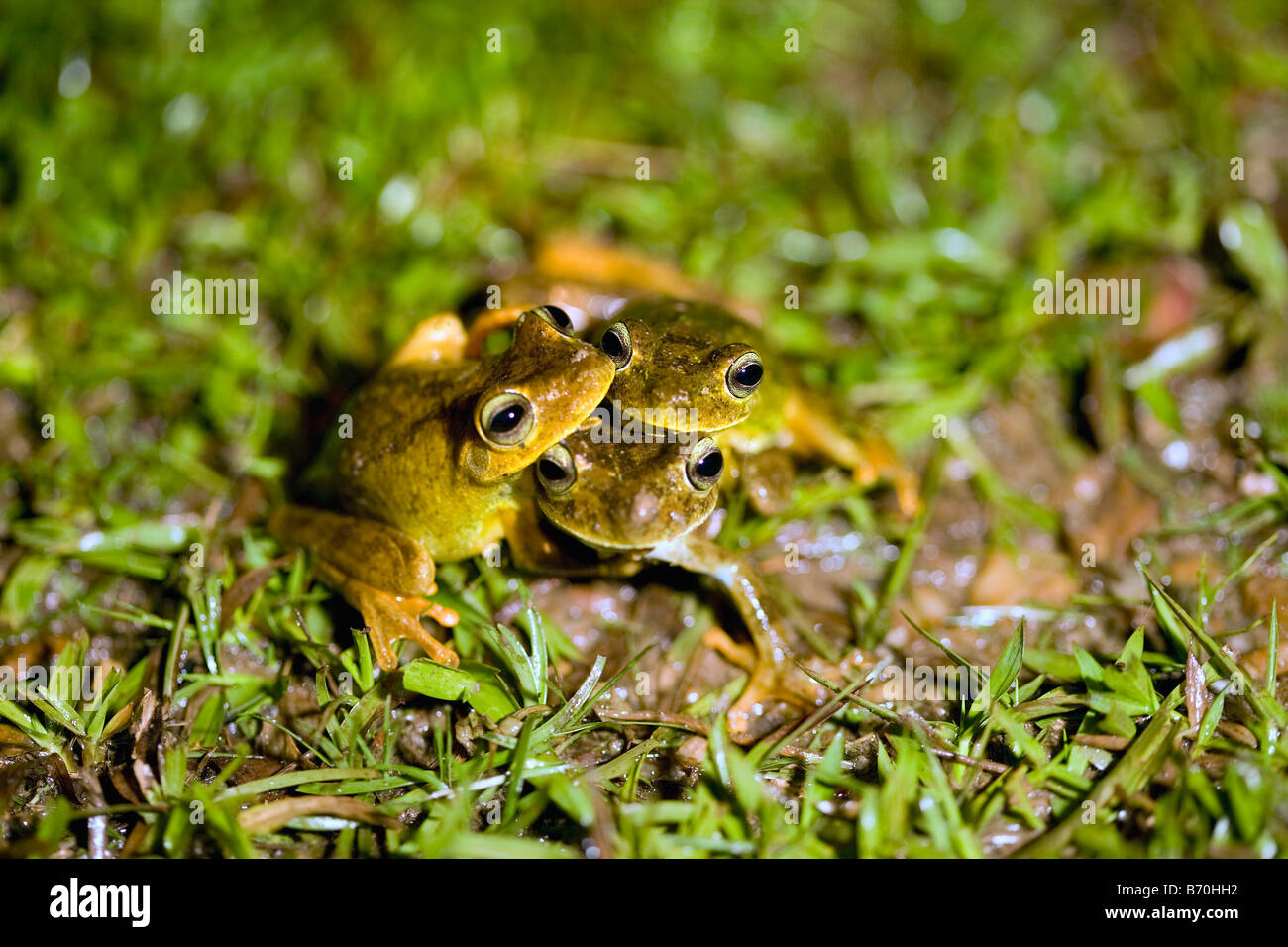 Suriname, Brownsweg, Brownsberg National Park. Frog. Family: Eleutherodactylus. Just discovered species. - Stock Image