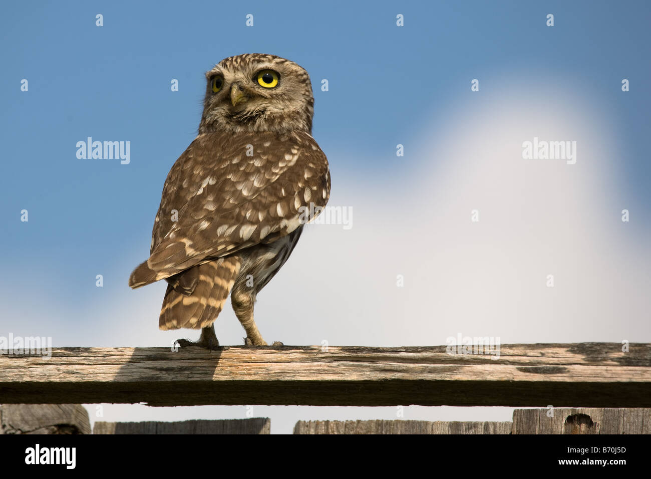 Little Owl,Athene noctua on a wood stick looking backward at Pego da Granja,Loures,Portugal Stock Photo