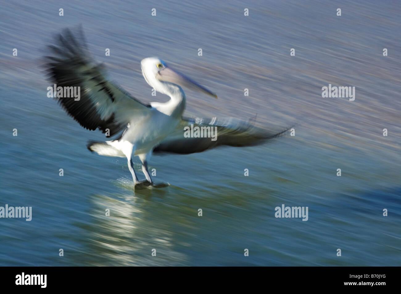 Australian Pelican Pelecanus conspicillatus Landing at The Entrance New South Wales Australia - Stock Image