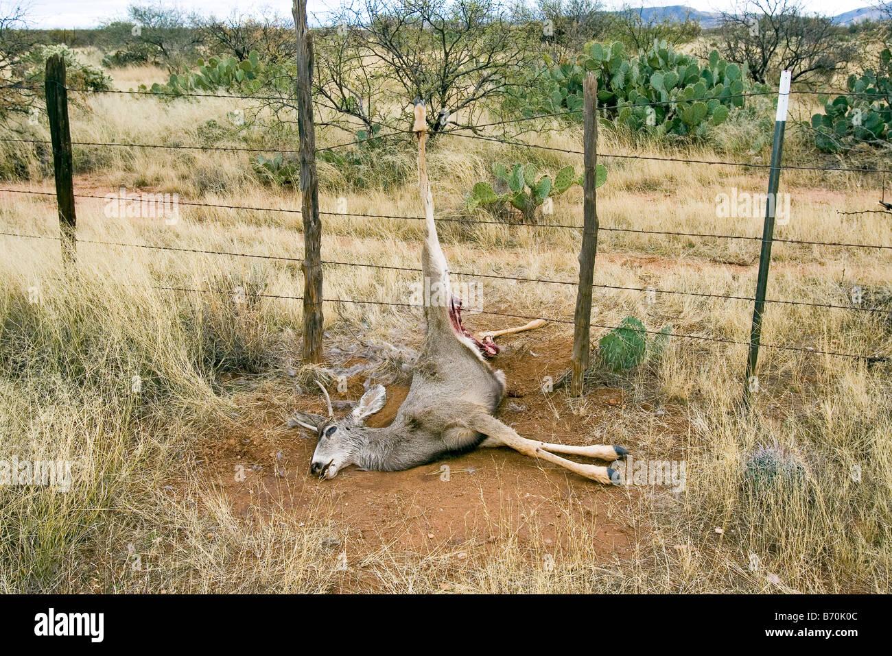 Mule Deer Odocoileus hemionus Catalina Arizona United States 16 December First year Male Cervidae - Stock Image